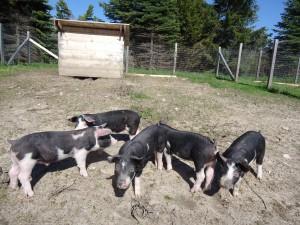 Pigs pigs pigs at Hillside Homestead