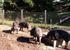 Home-Grown Pork for sale