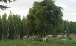 Sheep at work in New Zealand Hop Yard