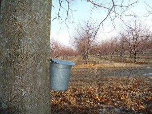 A galvanized steel maple sugar bucket used for collecting sap, all with a lovely orchard view. during maple sugaring time.