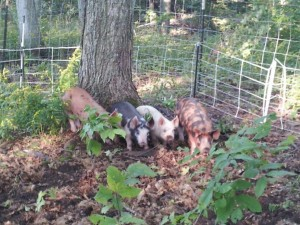 Some of the pigs we have raised for our meat CSA!
