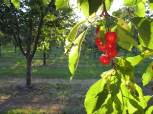 Montmorency Tart Cherries ripe on the tree